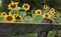 Blooming sunflowers in a private garden with wooden planks fence.