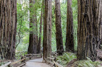 Old Growth Coast Redwood Trees around Paved Trail.