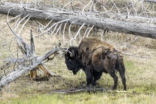 Bison in field grazing on grass.