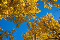 A poplar tree in fall with bright backlit yellow leaves