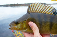 Good fishing on Northern rivers, caught perch.