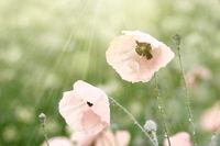 mohnblumen nach einem regenguss