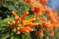 Orange tropical flower In Canary Islands