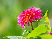 Dahnlia flower blossom in the garden