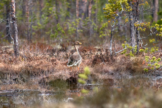 Forest-breeding bean goose