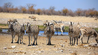 Zebras drinking at a waterhole in the Etosha National Park in Namibia