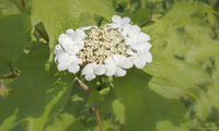 Plate hydrangea, (Hydrangea serrata), white blossom, close-up, May