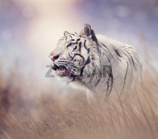 White tiger in the grassland