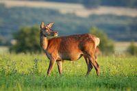 Red deer hind looking behind in tranquil atmosphere in springtime at sunset.