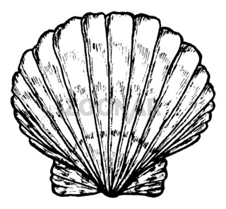 Sea shell. Black and white illustration.