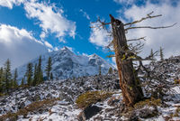 An old tree on a side of a mountain on the Upper Kananaskis Lake trail in Peter Lougheed Provincial Park, Alberta