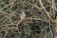 Two young little Owls sitting on a tree