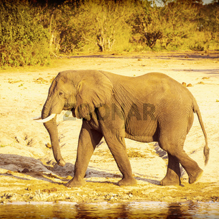 Bull Elephant Walking Along River