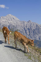 Calves in the Leongang stone mountains