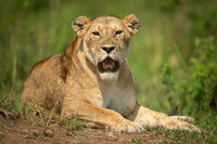 Lioness lies in grass staring at camera