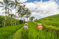 Female farmers working in Jatiluwih rice terrace plantations on Bali, Indonesia, south east Asia.
