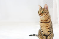 Bengal cat on white background sits sideways, looks aside.