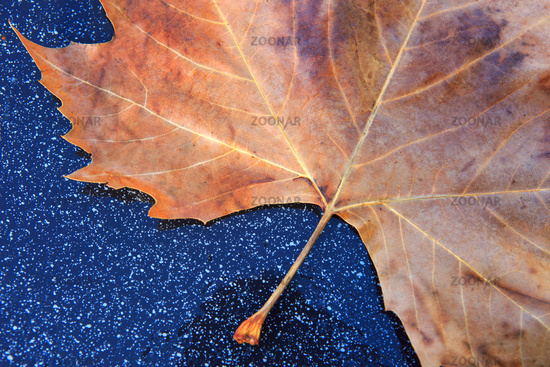 Close up on maple autumn leaf isolated on gray background.
