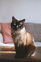 siamese cat sits on coffee table in living room