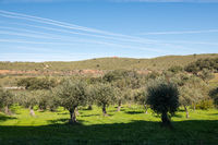 Views of an olive grove and the trace in the sky of the passage of the airplanes near Grimaldo