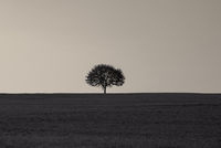 Single tree on a grass field at sunrise