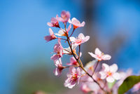 Pink flowers on the bush over blurred blue background.