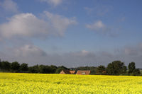View over a field with rapeseed