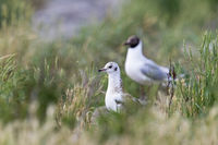 Black-headed Gull / Chroicocephalus ridibundus