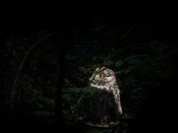 Owl in a forest