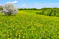 Old blooming apple tree on spring meadow with dandelions