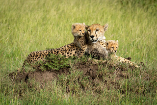 Cheetah cubs lie on mound by mother
