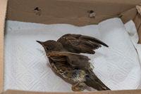 First aid of an injured bird - closeup Thrush