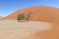 Dune with acacia trees in the Namib desert