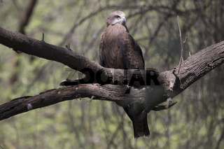 black kite that sits on a branch on a sunny winter day during wintering in India