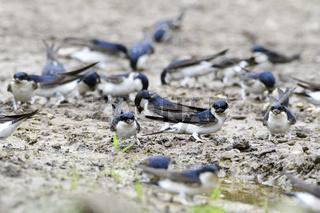 Mehlschwalben beim Nestbau