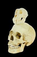 Monkey skull with human skull on black background