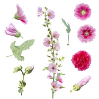 hollyhock flowers , leaves and buds  isolated on white background