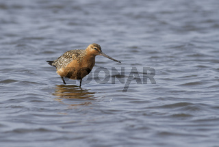 Bar-tailed godwit standing in shallow water at the mouth of the river in the spring afternoon during the flight