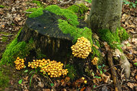 changeable pholiota, sheathed woodtuft, two-tone woodtuft