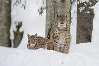 Eurasian Lynx Family with Kids, Lynx lynx, Luchs Familie