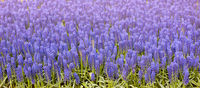 Blooming purple Grape Hyacinth flower in spring garden