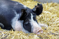 Adult Berkshire Pig resting in a barn