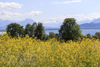 View Lake Constance, landscape, rape field in the foreground