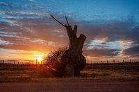 Bulbous tree trunk and grape vines in the sunrise