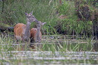 Red Deer hind and calf in a pond