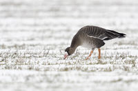 Greater White-fronted Goose * Anser albifrons * in winter on snow covered farmland, feeding