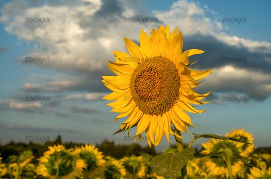 Field of sunflowers. Sunflowers flowers. Landscape from a sunflower farm. A field of sunflowers.