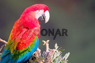 Red And Green Macaw, Ara Chloropterus, Buraco Das Araras, near Bonito, Pantanal, Brazil