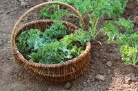 Young kale growing in the vegetable garden. Gardener picking leaves in basket