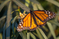 Beautiful Monarch Butterfly Resting On Plant